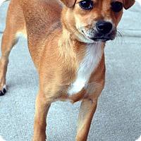 Adopt A Pet :: Nellie-Adoption pending - Bridgeton, MO