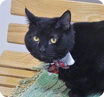 Domestic Shorthair Cat for adoption in Chambersburg, Pennsylvania - George