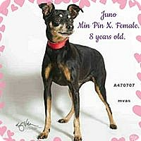 Adopt A Pet :: Juno - Barriere, BC