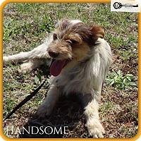 Adopt A Pet :: Handsome - DeForest, WI