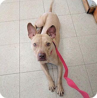 Staffordshire Bull Terrier Dog for adoption in Raleigh, North Carolina - Sweet Pea