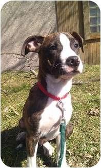 Terrier (Unknown Type, Medium)/Greyhound Mix Puppy for adoption in Silver Lake, Wisconsin - Napoleon