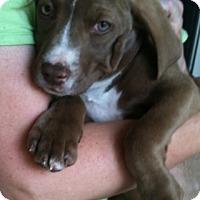 Adopt A Pet :: Patty Lou - Somers, CT