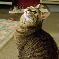 Domestic Shorthair Cat for adoption in Eldora, Iowa - Anja