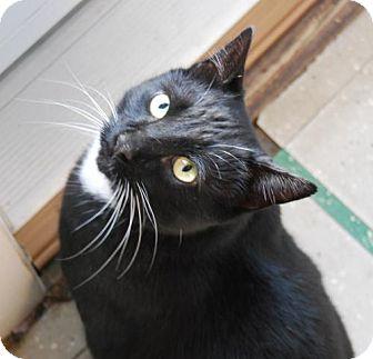 Domestic Shorthair Cat for adoption in Harrisonburg, Virginia - Max