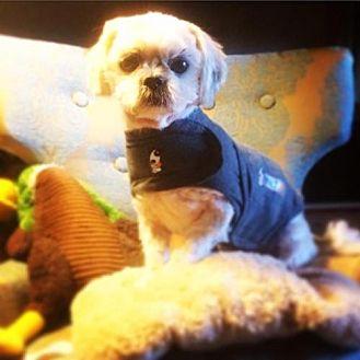 Shih Tzu Dog for adoption in San Diego, California - Petey blind