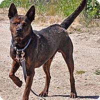 German Shepherd Dog/Pit Bull Terrier Mix Dog for adoption in Poway, California - Radar