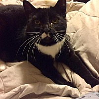 Domestic Shorthair Cat for adoption in Napa, California - Missy