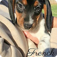 Adopt A Pet :: French - House Springs, MO