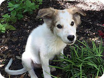Anatolian Shepherd Mix Puppy for adoption in Austin, Texas - Lil Wayne