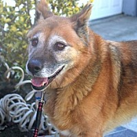 German Shepherd Dog Dog for adoption in Irvine, California - Winston