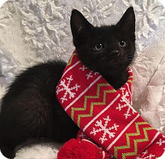 Domestic Shorthair Kitten for adoption in El Dorado Hills, California - Thumper