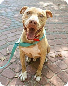 Pit Bull Terrier/Labrador Retriever Mix Dog for adoption in Jacksonville, North Carolina - Bonez