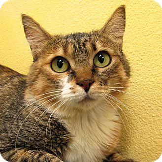 Domestic Shorthair Cat for adoption in Eastsound, Washington - Faith