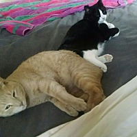 Adopt A Pet :: Jerry & Oreo - Orland Park, IL