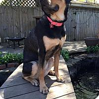 Adopt A Pet :: Belle - Pittsburg, KS