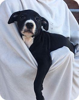 Labrador Retriever Mix Puppy for adoption in Brattleboro, Vermont - Lilac