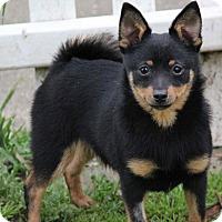Adopt A Pet :: Buzz - Yuba City, CA