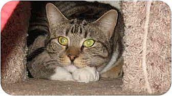 Domestic Shorthair Cat for adoption in Scottsdale, Arizona - Margay