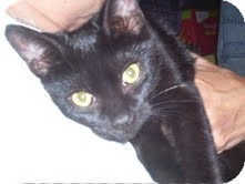 Domestic Shorthair Cat for adoption in Chicago, Illinois - Nelson