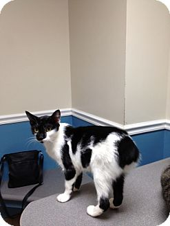 Manx Cat for adoption in Monroe, Georgia - Brenna