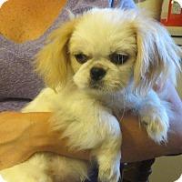 Adopt A Pet :: Ming Toy - Greenville, RI