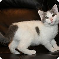 Adopt A Pet :: Cotton - Irvine, CA