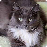 Adopt A Pet :: Fluffy Serena - Pacific Grove, CA