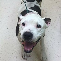 American Bulldog Mix Dog for adoption in Pompano beach, Florida - Mookie