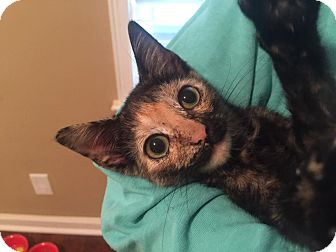 Domestic Shorthair Kitten for adoption in Burlington, North Carolina - CLEO