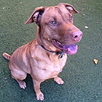 Adopt A Pet :: ZZ-Cooper *courtesy post - Rancho Santa Margarita, CA