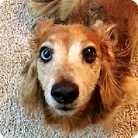 Dachshund Dog for adoption in Houston, Texas - Hogan Hoffmann