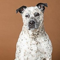 Australian Cattle Dog/Terrier (Unknown Type, Medium) Mix Dog for adoption in Northbrook, Illinois - Sprinkles