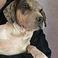 Adopt A Pet :: Dakota - Kittery, ME