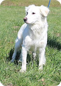 Brittany/Spaniel (Unknown Type) Mix Dog for adoption in Glastonbury, Connecticut - Dierks Bentley
