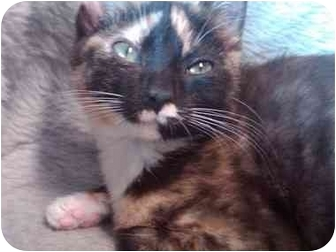 Domestic Shorthair Kitten for adoption in Erie, Pennsylvania - Sophie