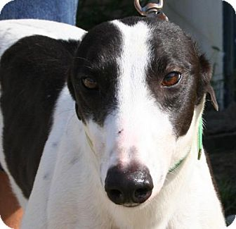Greyhound Dog for adoption in Knoxville, Tennessee - Kendra