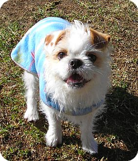 Pekingese/Terrier (Unknown Type, Small) Mix Dog for adoption in El Cajon, California - Gary