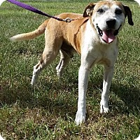 Hound (Unknown Type)/Labrador Retriever Mix Dog for adoption in Huntington, New York - Butch - N