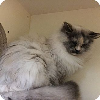 Domestic Longhair Cat for adoption in Phoenix, Arizona - Selene