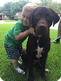 Labrador Retriever Dog for adoption in FORT WORTH, Texas - GUS