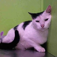 Domestic Shorthair Cat for adoption in Houston, Texas - TOBY