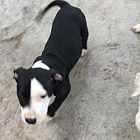 Adopt A Pet :: BRODY - Hollywood, FL