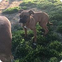Adopt A Pet :: Little Bit - Jacksonville, AL