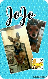 Yorkie, Yorkshire Terrier/Chihuahua Mix Dog for adoption in Fenton, Missouri - Jojo