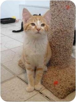 Domestic Shorthair Kitten for adoption in North Syracuse, New York - Midas