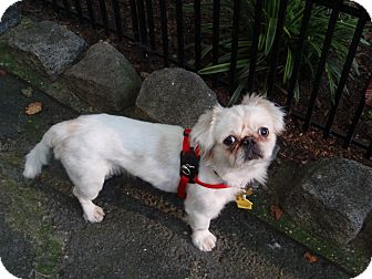 Pekingese Dog for adoption in Richmond, Virginia - Taylor