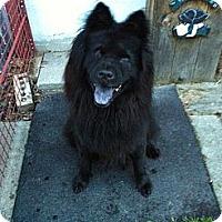 Adopt A Pet :: Sable - Tillsonburg, ON