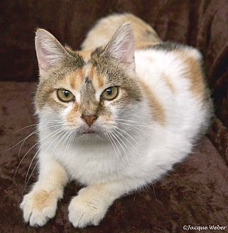 Calico Cat for adoption in St Louis, Missouri - Edith