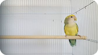 Lovebird for adoption in Grandview, Missouri - Ariel
